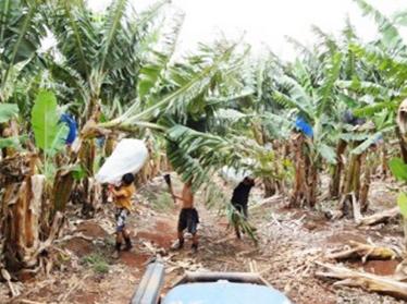バナナファーム 作業風景