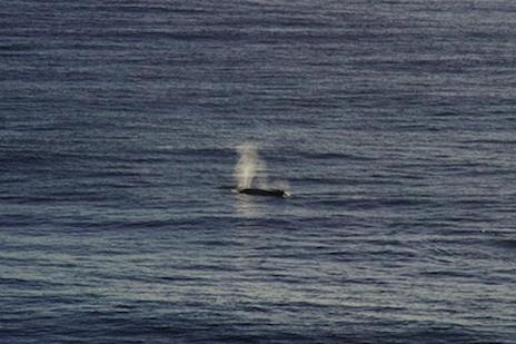 バイロンベイ クジラ